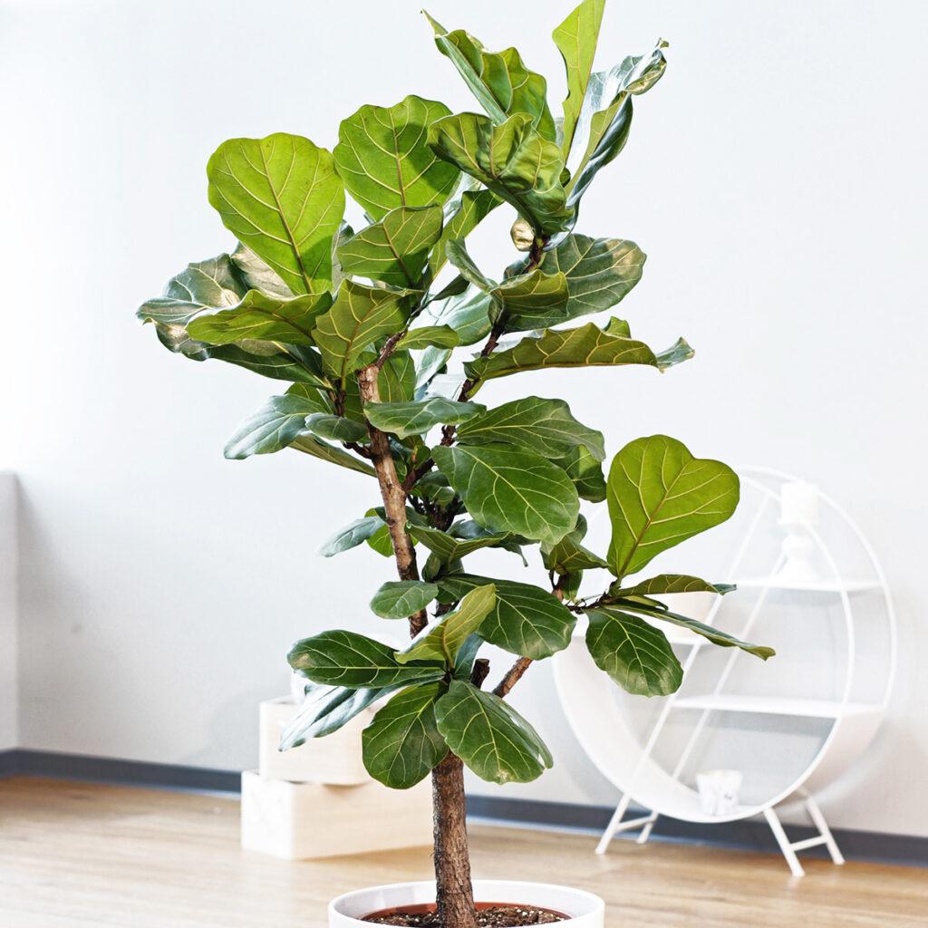 lüüra viigipuu