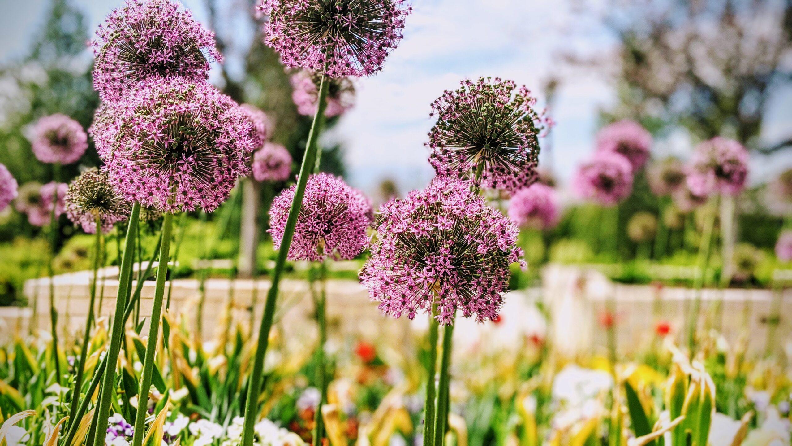 Sibullilled aiakujunduses – kus ja kellega